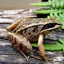 Image of Wood frog