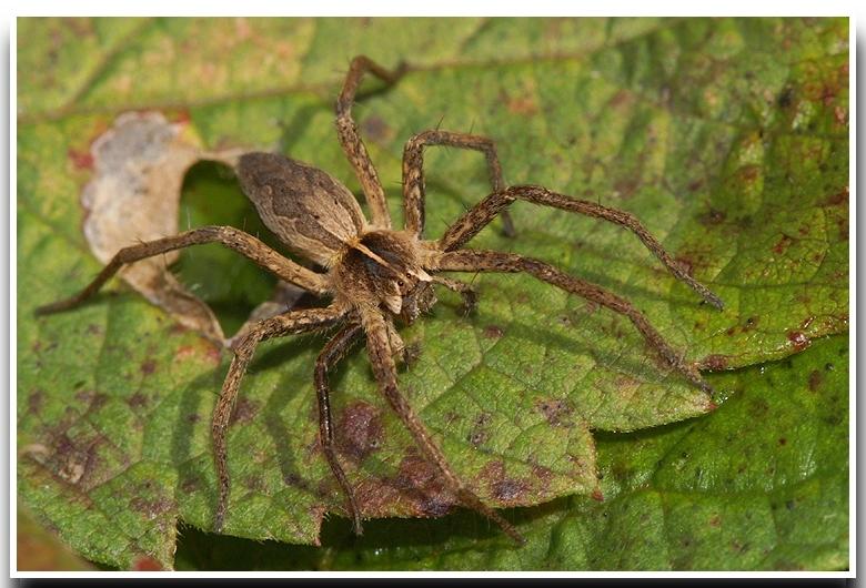 Image of Nursery-web spider