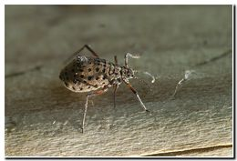 Image of Giant willow aphid