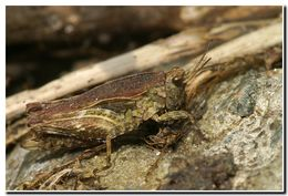 Image of Awl-shaped Pygmy Grasshopper
