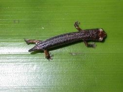 Image of Dwarf False Brook Salamander