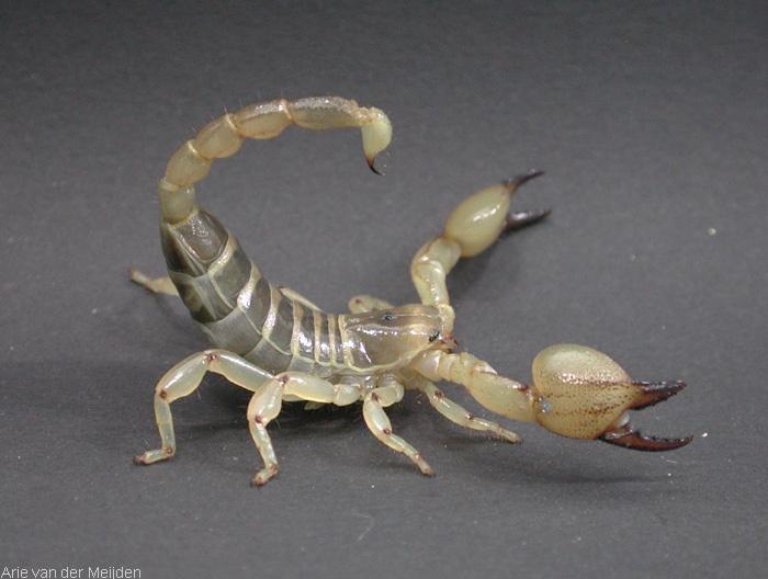 Image of Israeli gold scorpion