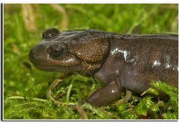 Image of Northwestern Salamander