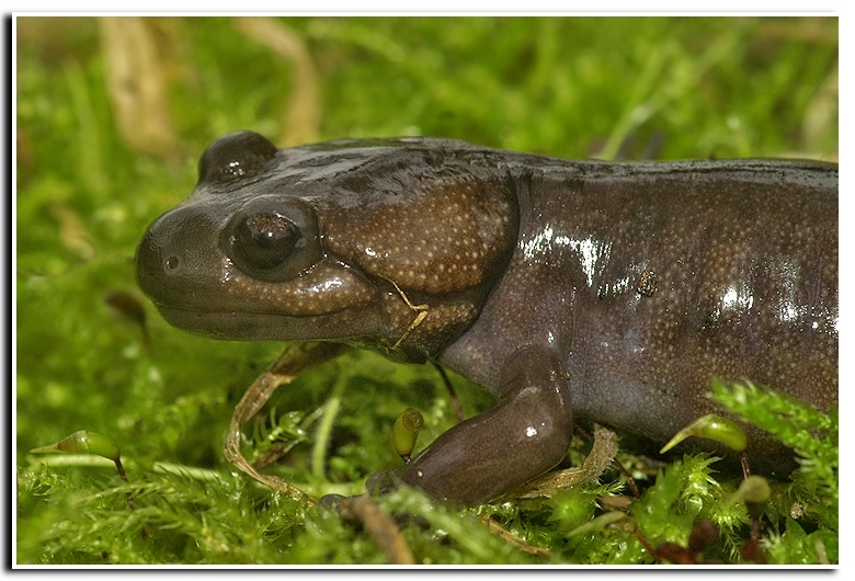 Image of Northwestern salamander