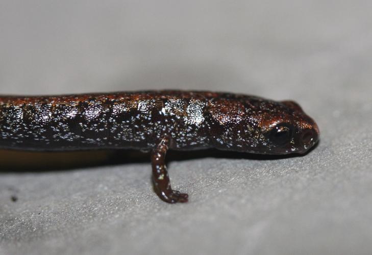 Image of Pápalo Minute Salamander