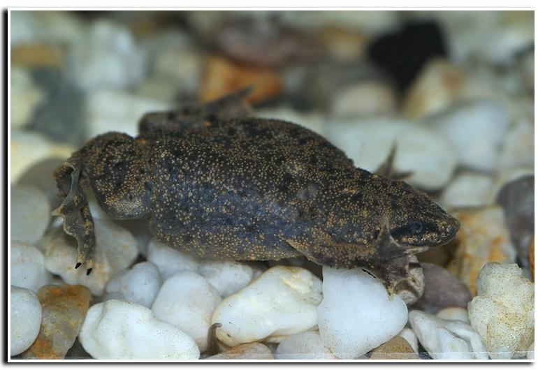 Image of Western dwarf clawed frog