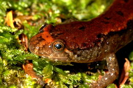Image of Dusky Salamander