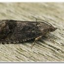 Image of acorn moth