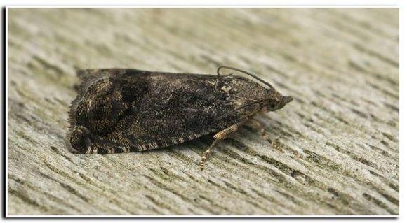 Image of acorn moth