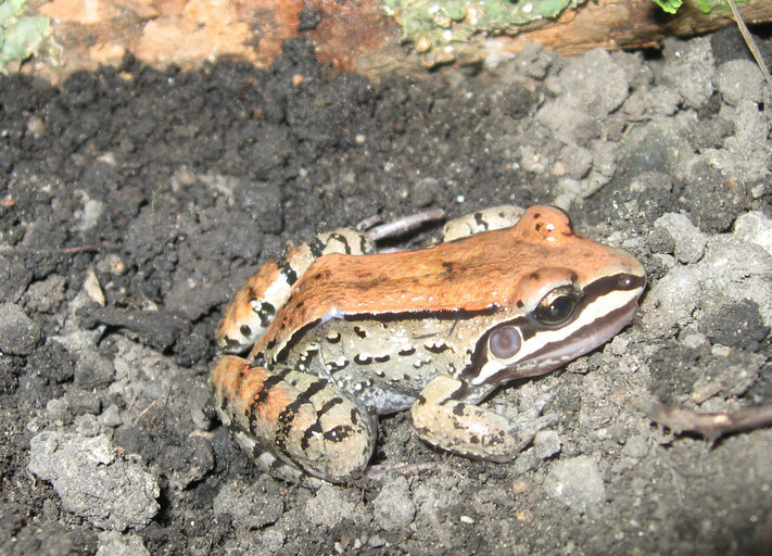 Image of Mustached Frog