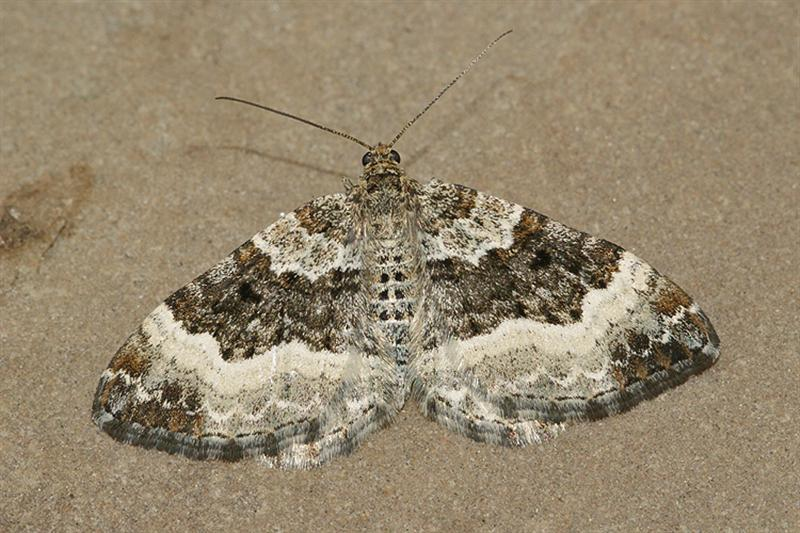 Image of Common Carpet