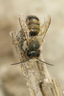 Image of <i>Osmia rufa</i> (Linnaeus 1758)