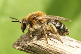 Image of Long-lipped Andrena