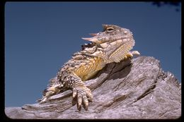 Image of Coast Horned Lizard