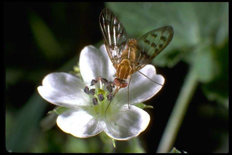 Image of long-legged fly