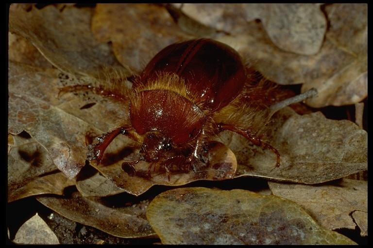 Image of <i>Pleocoma hoppingi</i> Fall 1906