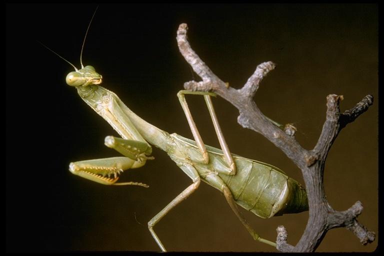 Image of praying mantis
