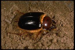 Image of <i>Pleocoma tularensis</i> Leach 1933