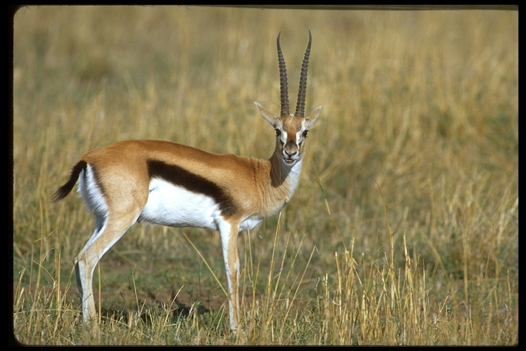 Image of Thomson's Gazelle