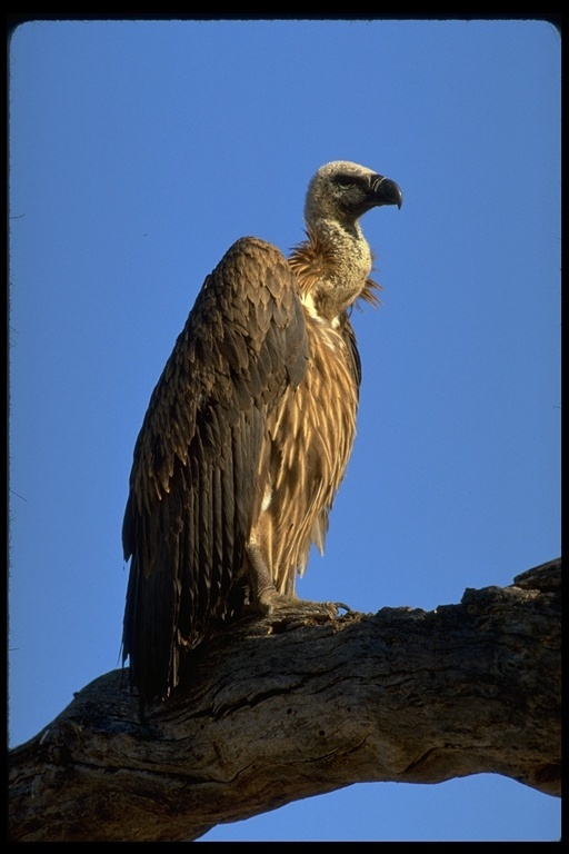 Image of White-backed Vulture