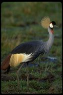 Image of East African Crowned Crane