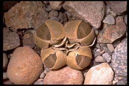 Image of <i>Lithops aucampiae</i> L. Bol.