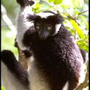 Image of indri