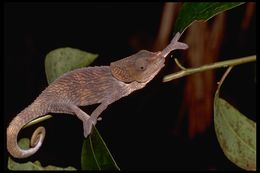 Image of Short-horned Chameleon