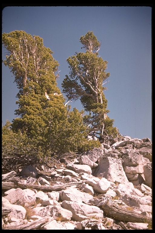 Image of foxtail pine