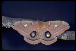 Image of Polyphemus Moth
