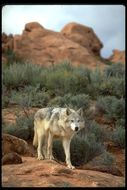 Image of Grey Wolf