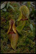 Image of purple pitcherplant