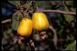 Image of Cashew