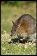 Image of Red-necked Pademelon