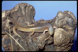 Image of <i>Ctenotus pantherinus</i> (Peters 1866)