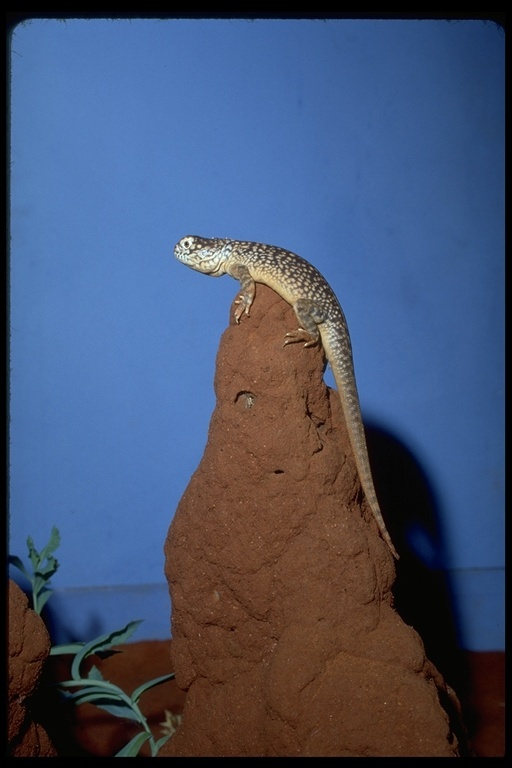 Image of Central Netted Dragon