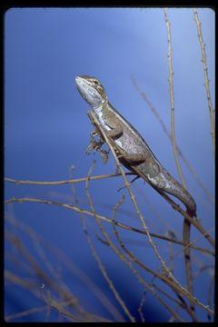 Image of Cane Grass Dragon
