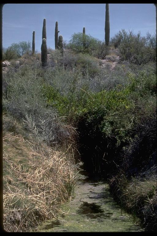 Image of Desert pupfish