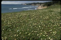 Image of Beach Strawberry