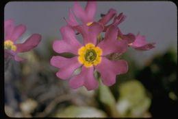 Image of Siberian primrose
