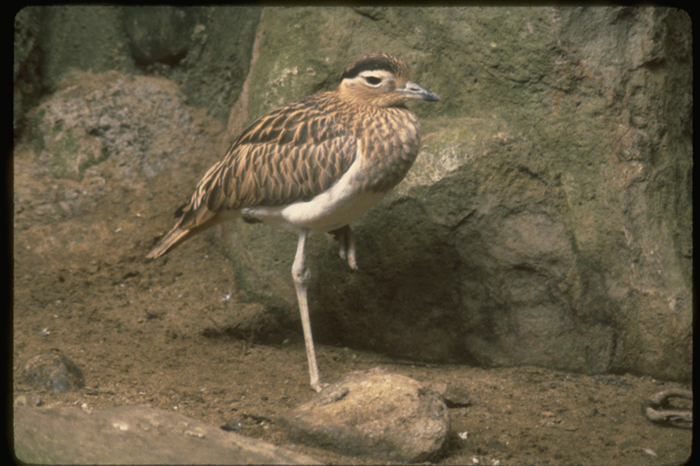 Image of Double-striped Thick-knee