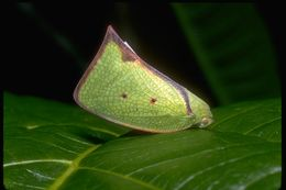 Image of flatid planthoppers
