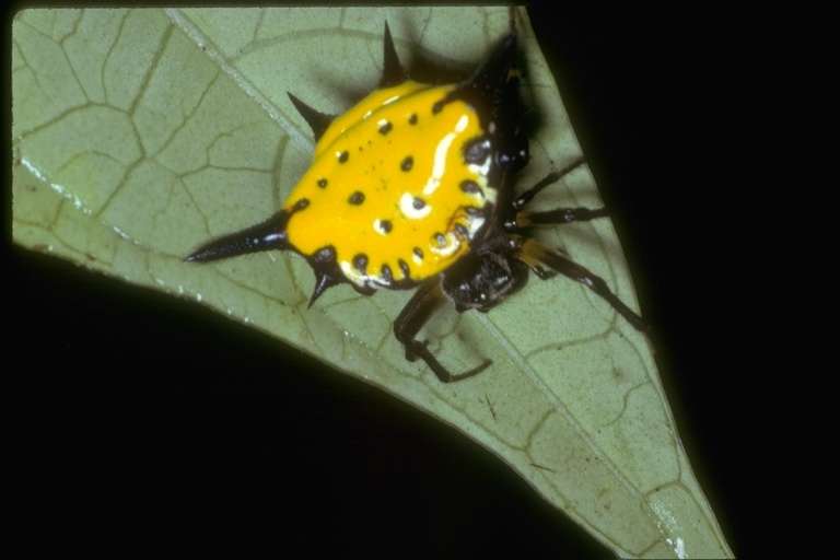 Image of Hasselt's Spiny Spider