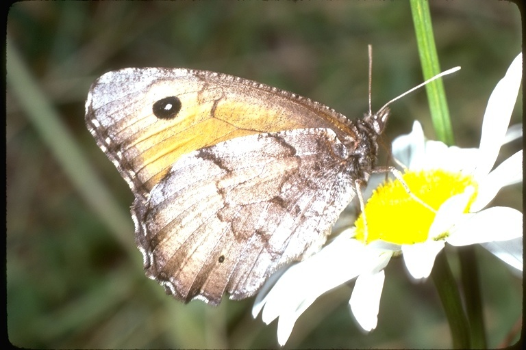 Image of <i>Oeneis chryxus ivallda</i>