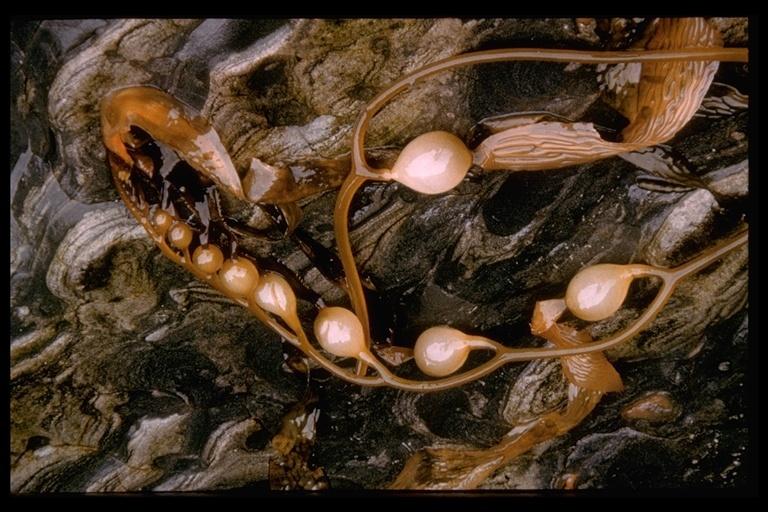 Image of <i>Macrocystis pyrifera</i>