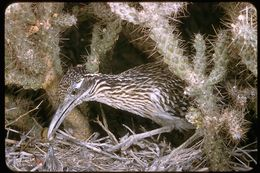 Image of Greater Roadrunner