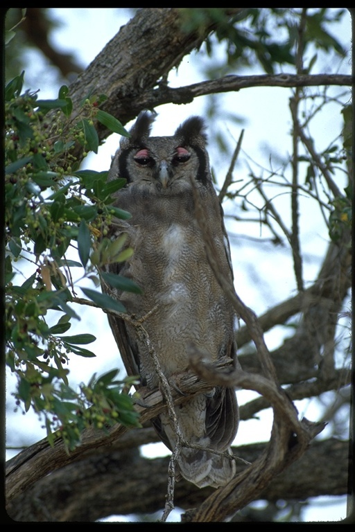 Image of Giant Eagle Owl