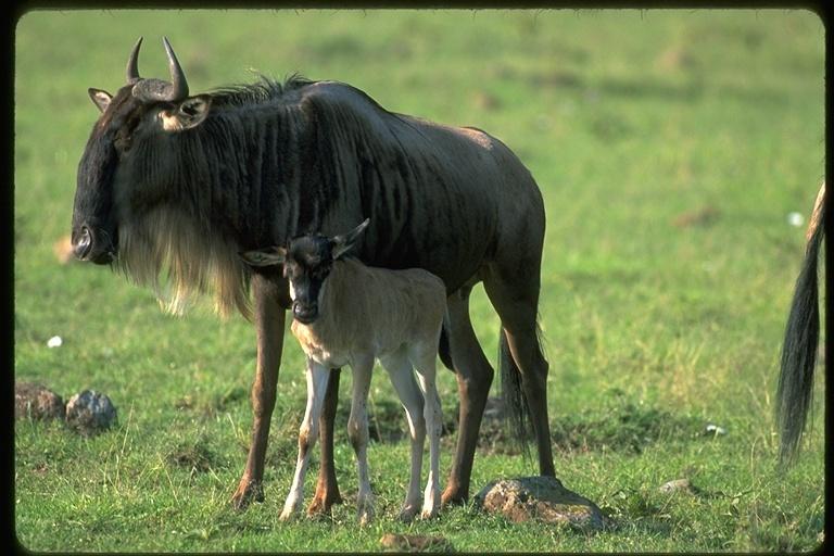 Image of Western white-bearded Wildebeest