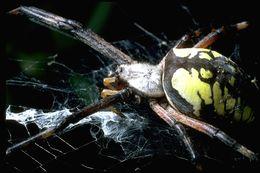 Image of Yellow Garden Spider