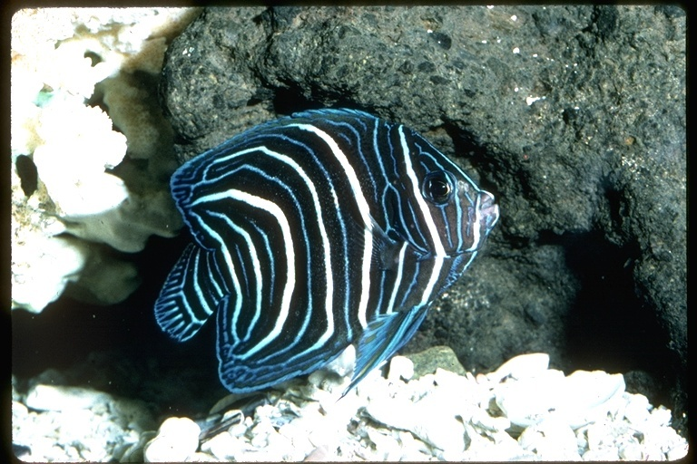 Image of Pomacanthus